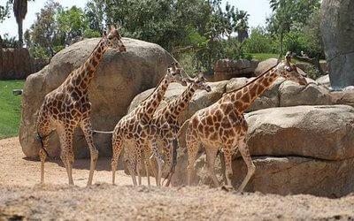 biopark's Giraffes
